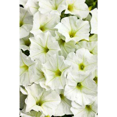 Supertunia White (Petunia) Live Plant, White Flowers, 4.25 in. Grande, 4-pack