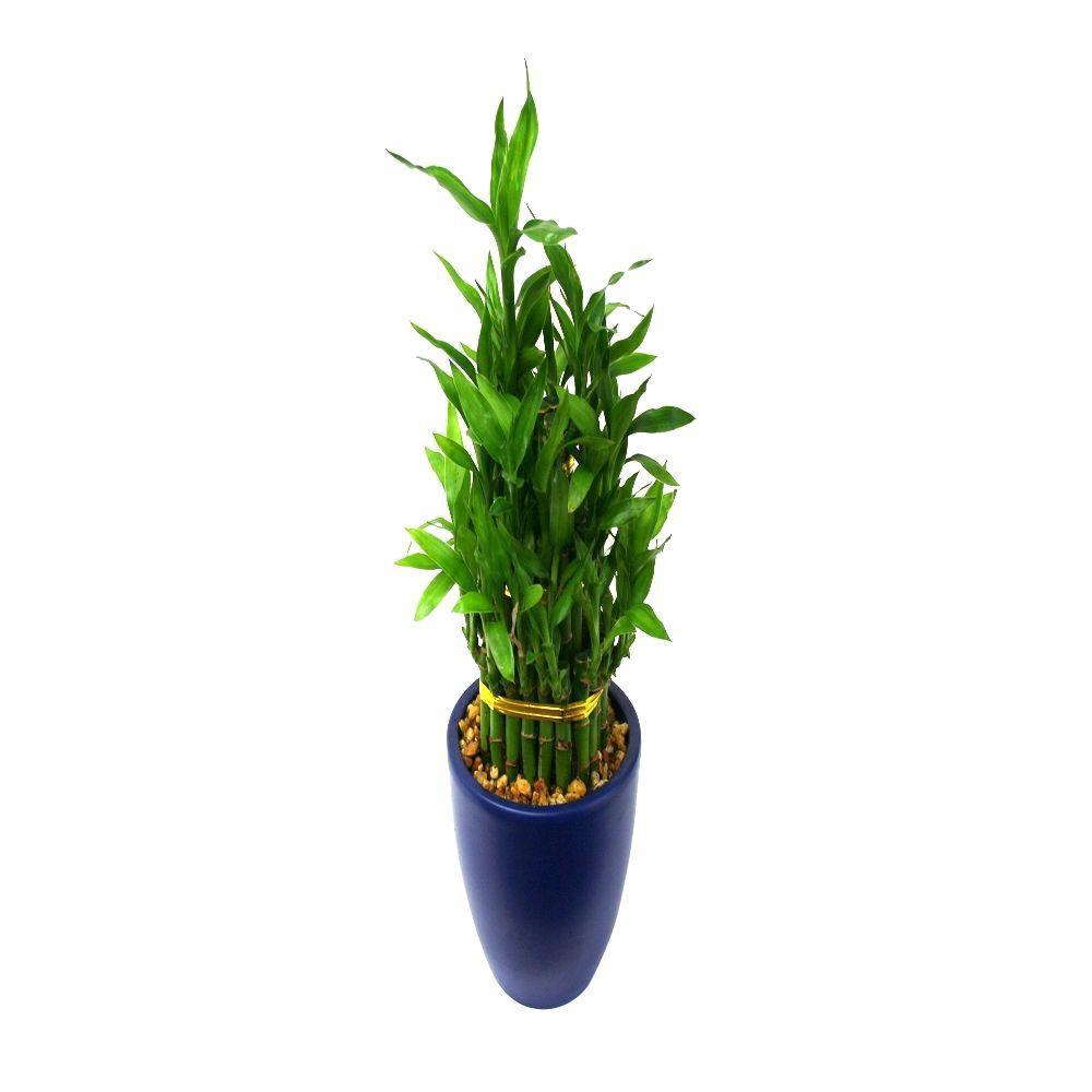 Delray Plants Lucky Bamboo Medium in 4 in. Dark Blue Pot