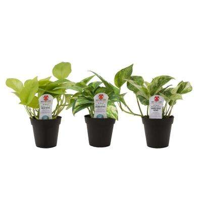 Pothos Plant in 3.8 in. Grower Pot, Assortment (3-Pack)
