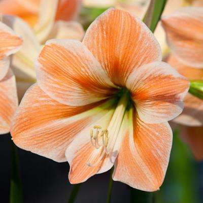 Amaryllis Bulbs Apricot Parfait (Set of 1 Bulb)
