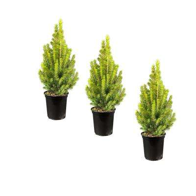 4 in. Alberta Evergreen Spruce Tree (3-Pack)
