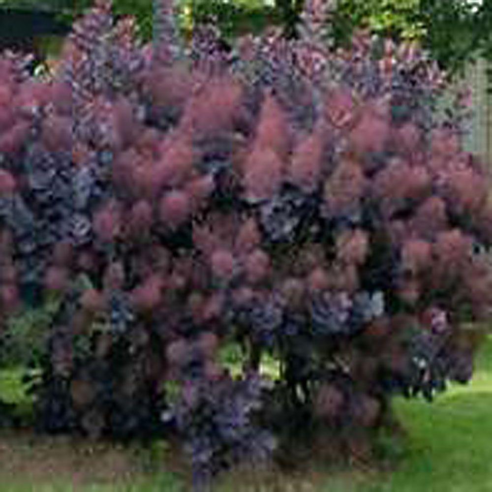 OnlinePlantCenter 36 in. Purple Smoketree or Smokebush Tree-DISCONTINUED