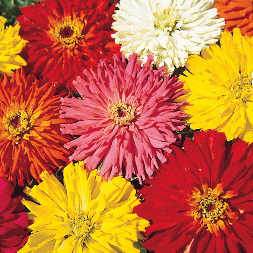 Cactus Zinnia Flowering Seed Mixture (75-Seed Packet)