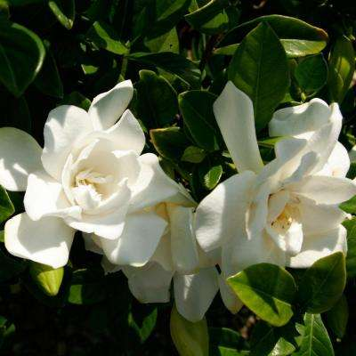 2.5 Qt. Jubilation Gardenia, Live Evergreen Shrub, White Fragrant Blooms