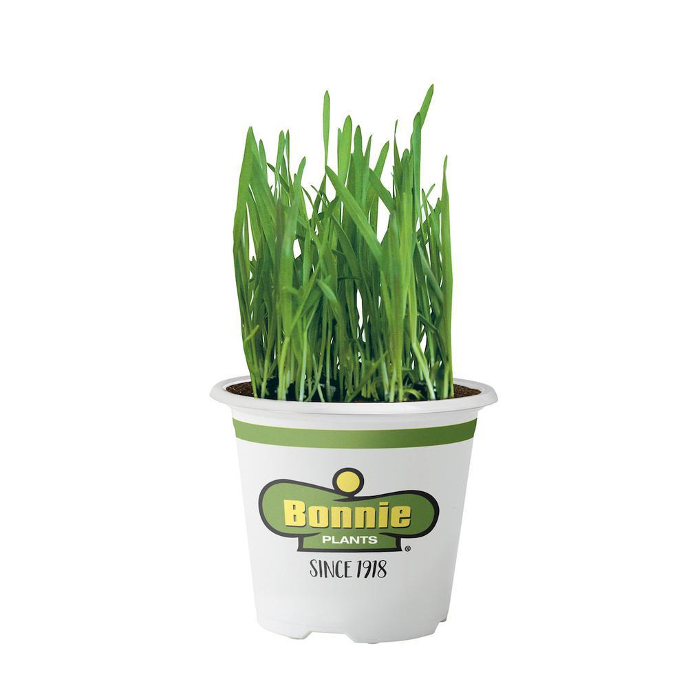 Bonnie Plants Pet Grass
