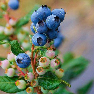4 in. Pot, Perpetua Blueberry (Vaccinium), Live Deciduous Plant, White Flowers with Green Foliage Shrub (1-Pack)