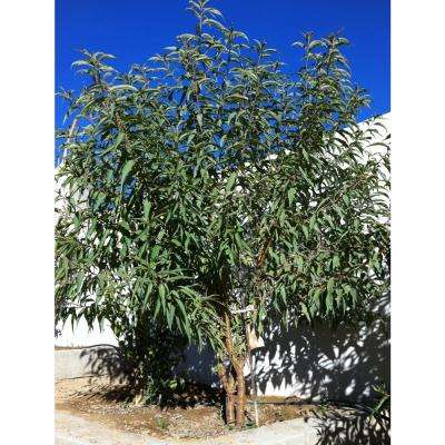 All-in-1 Almond Tree Bare Root