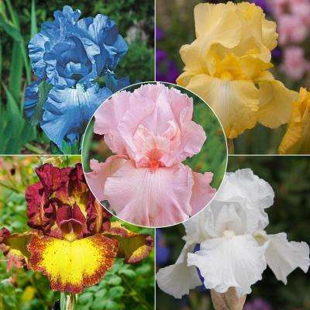 Multi-Colored Flowering Iris Mixture, Live Bareroot Perennials (5-Pack)