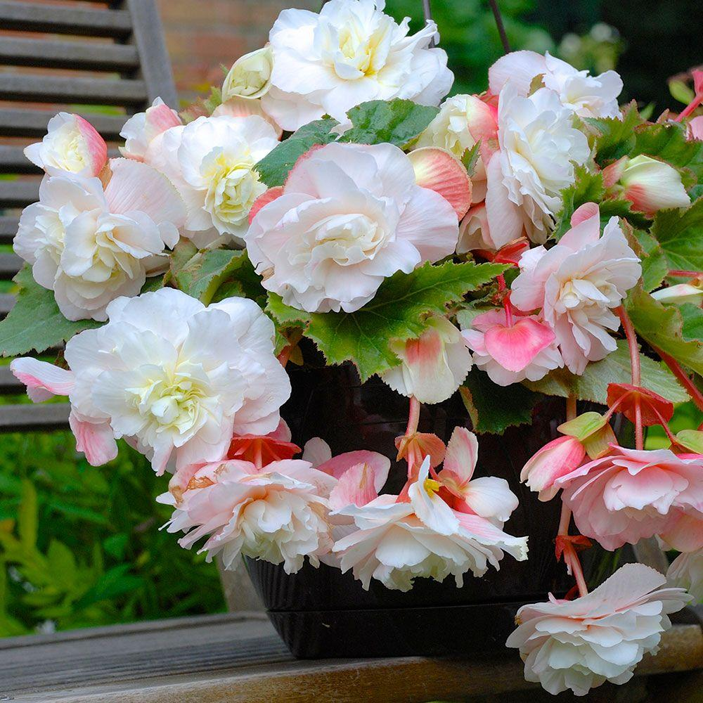 Longfield Gardens 5 cm to 6 cm Odorata White Begonia Bulbs (3-Pack)