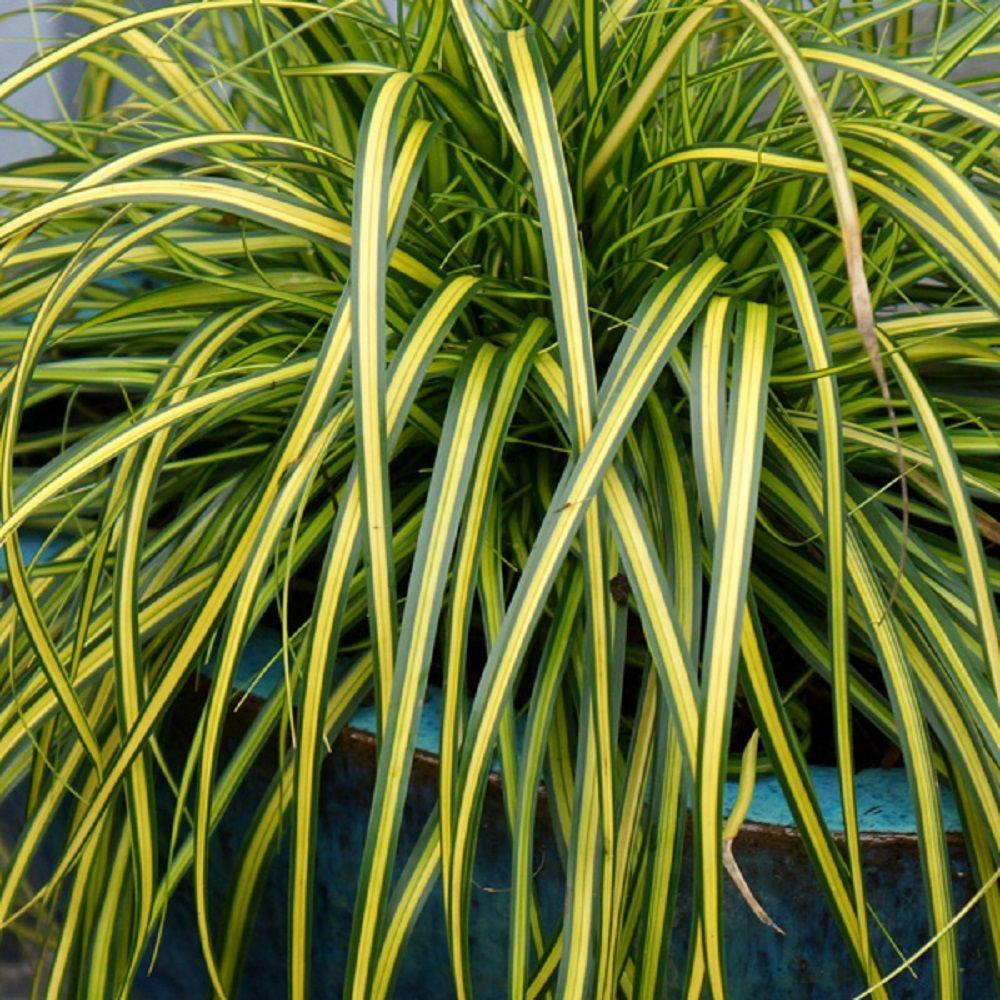 Sedge Grass Ornamental Grasses Garden Plants Flowers The