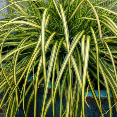 2.5 Qt. Evercolor Eversheen Carex, Live Evergreen Grass, Lime Yellow Striped Green Foliage