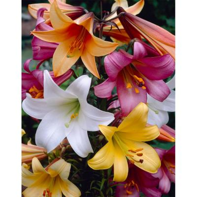 Trumpet Lily Mix Bareroot (3-Pack)