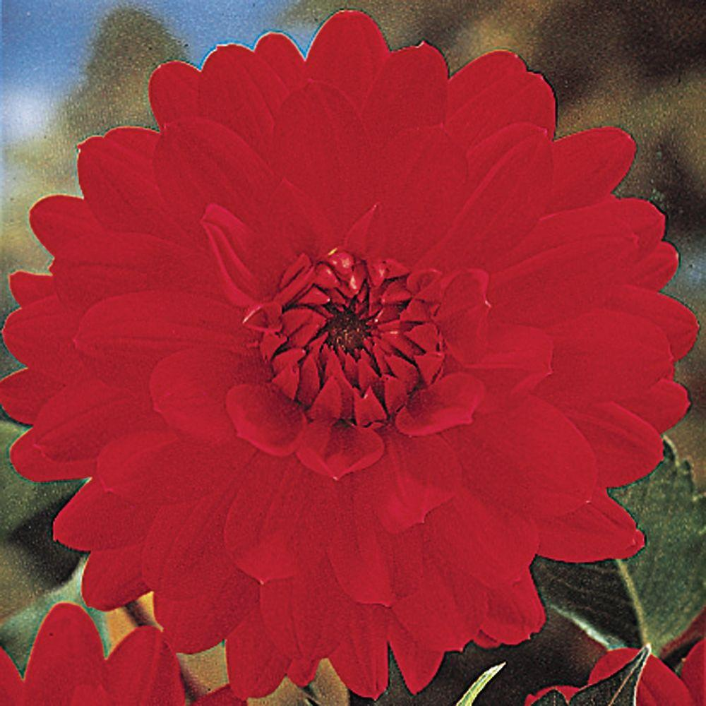 null Dahlia Barbarosa Dormant Tubers (4-Pack)-DISCONTINUED