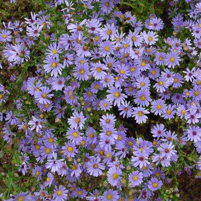 3 in. Pot Bluebird Aster Live Deciduous Plant Blue Flowering Perennial (1-Pack)
