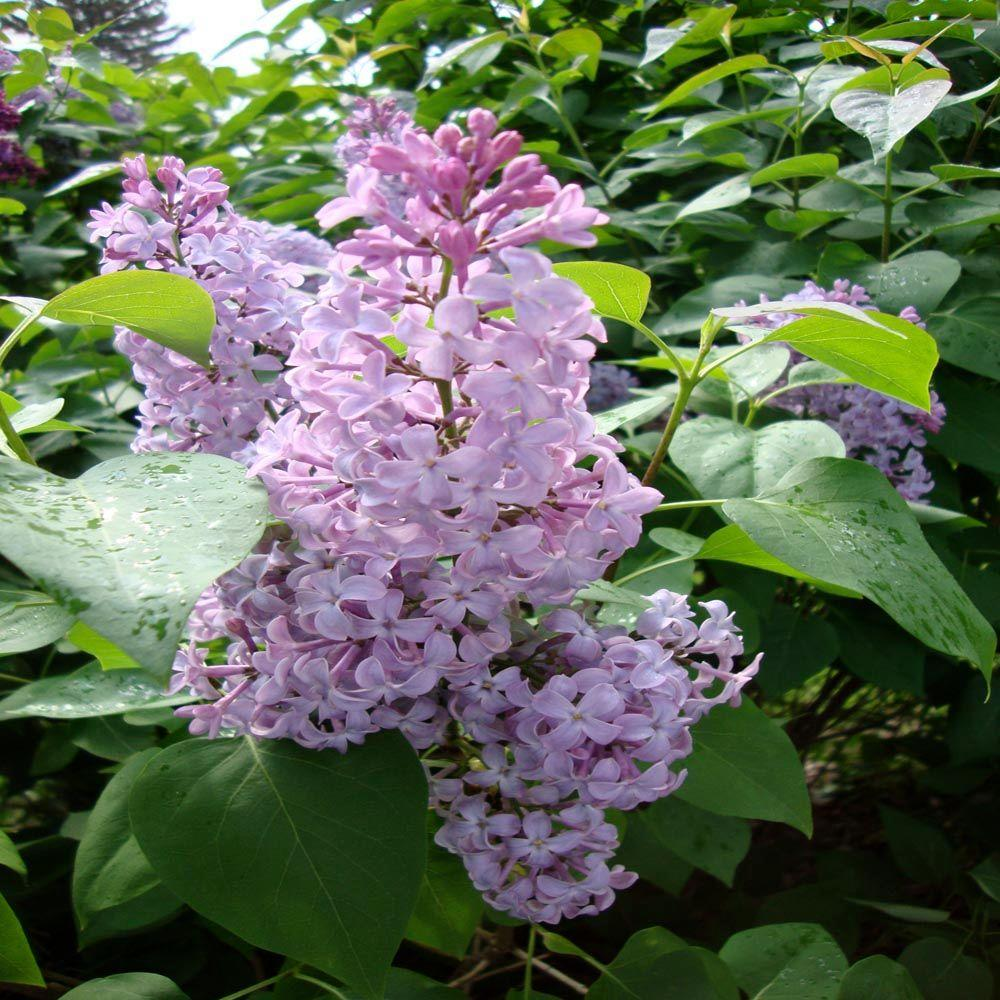 OnlinePlantCenter 30 in. Old Fashioned Common Lilac Shrub-DISCONTINUED