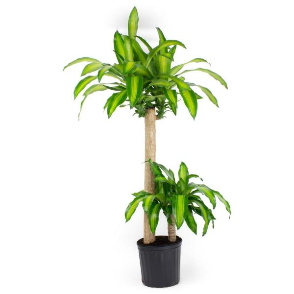 1.9 Gal. Dracaena Mass Cane Stalk Plant in 9.25 In. Grower's Pot