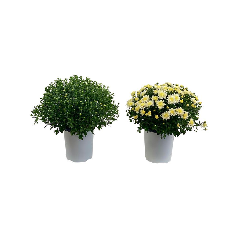 2.5 Qt. Mum Chrysanthemum Plant White Flowers in 6.33 In. Grower's Pot (2-Plants)