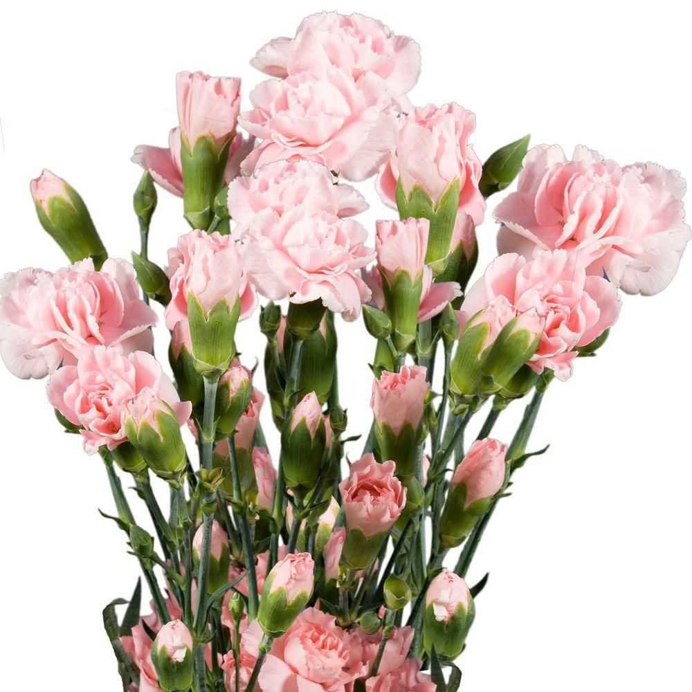 Globalrose Fresh Pink Mini Carnations (160 Stems - 640 Blooms)