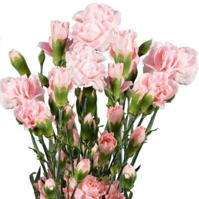 Fresh Pink Mini Carnations (160 Stems - 640 Blooms)