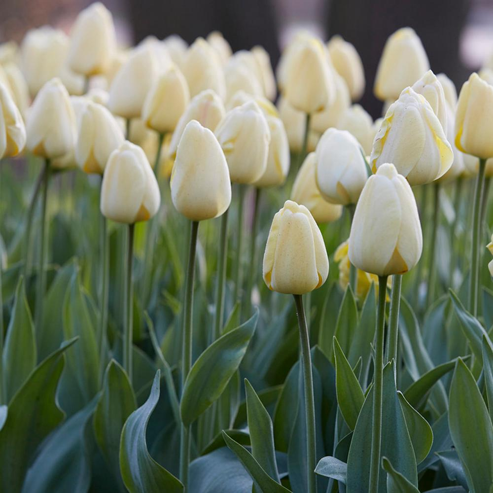 Tulip flower bulbs garden plants flowers the home depot tulips bulbs ivory floradale set of 12 mightylinksfo