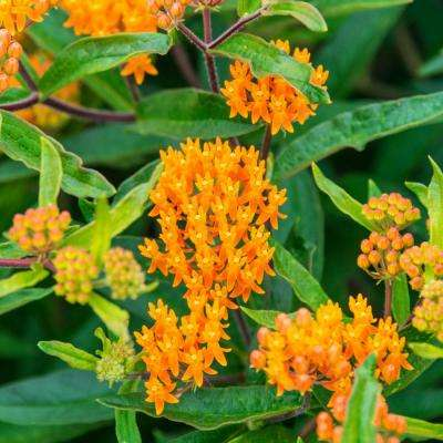 Orange Flowering Butterfly Weed (Asclepias), Live Deciduous Perennial with 2 in. Pot (1-Pack)