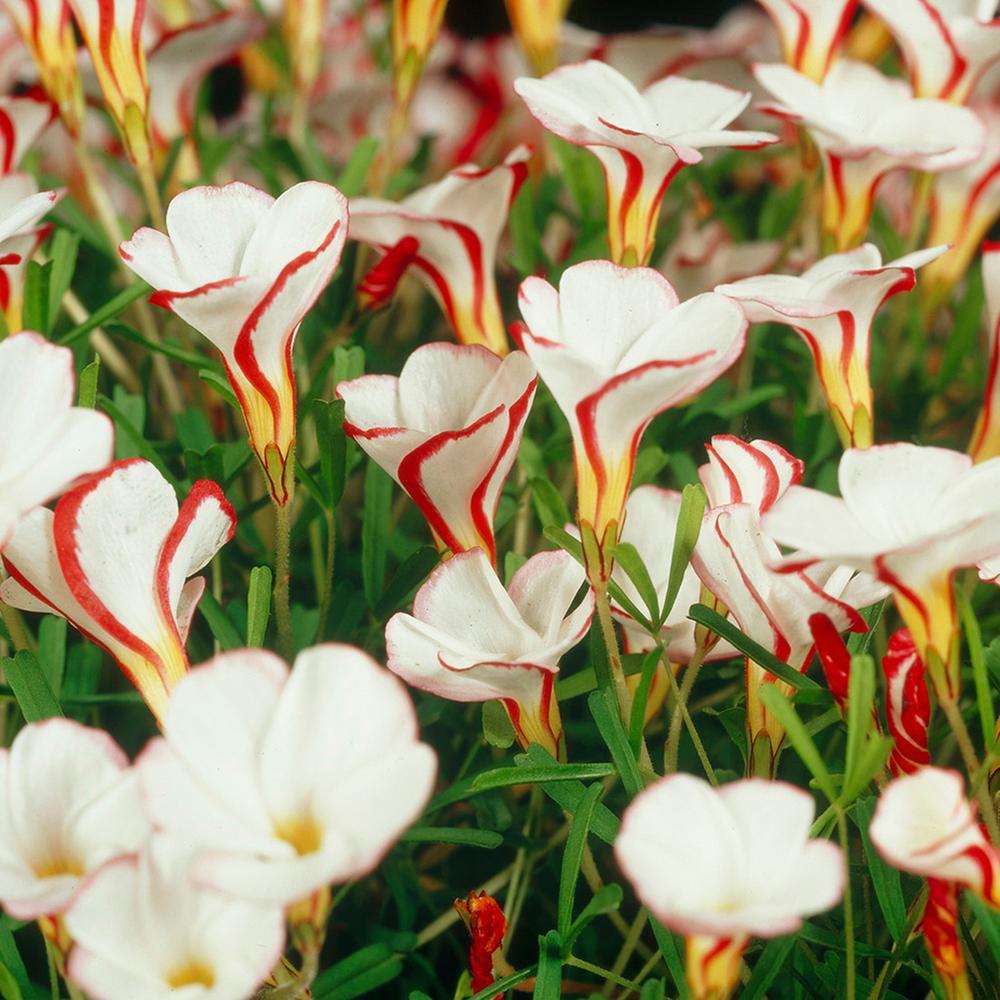 Van Zyverden Oxalis Bulbs Versicolor (Set of 10)