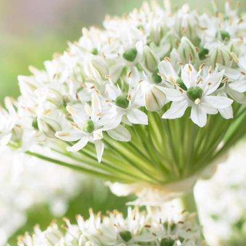 Allium Mount Everest Bulbs (5-Pack)