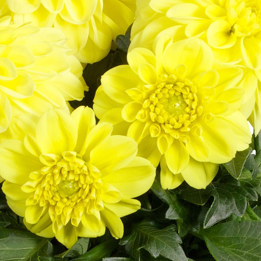 Dahlia Yellow Annuals Garden Plants Flowers The Home Depot