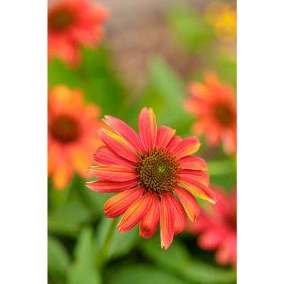 4.5 in. Qt. Lakota Fire Coneflower (Echinacea) Live Plant, Red-Orange Flowers