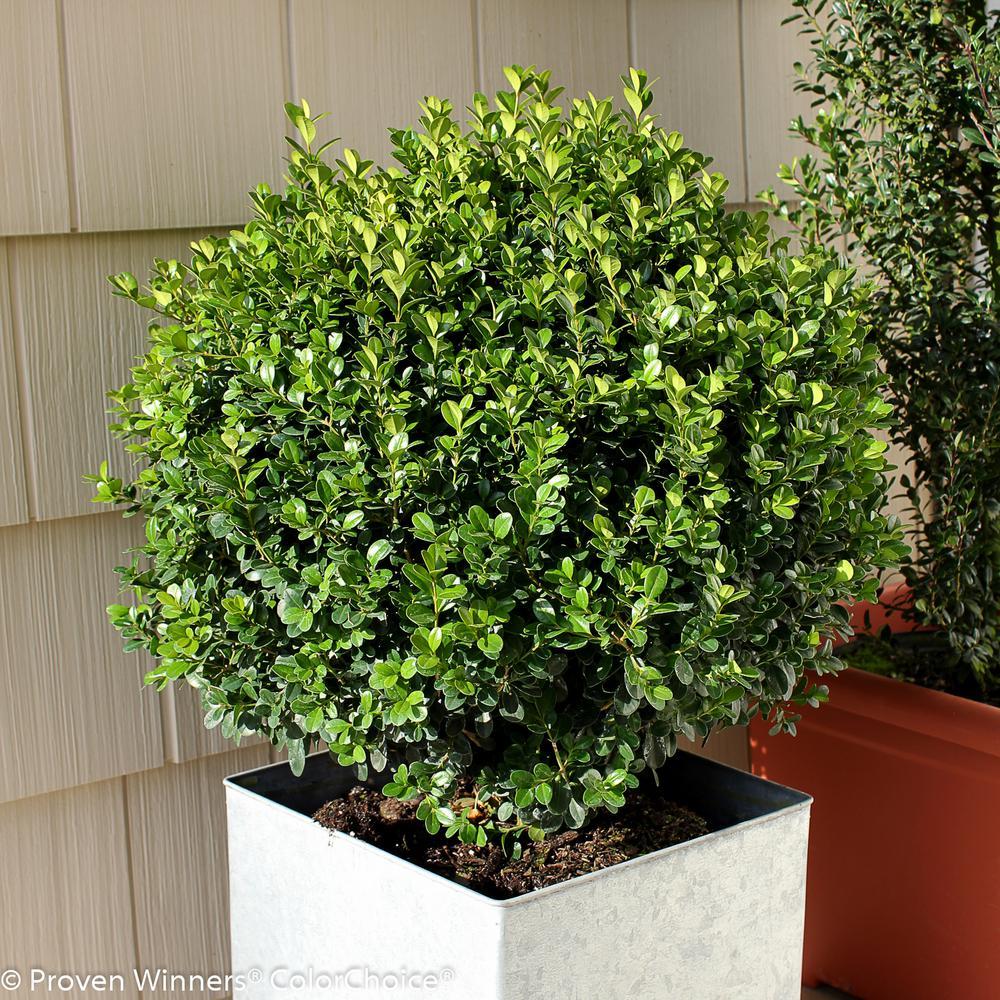 PROVEN WINNERS Sprinter Boxwood (Buxus) Live Evergreen Shrub, Green Foliage,3 Gal.