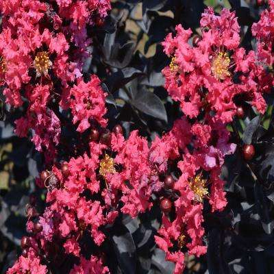 Crape Myrtle Tuskegee Home Depot Seven Signs You Re In
