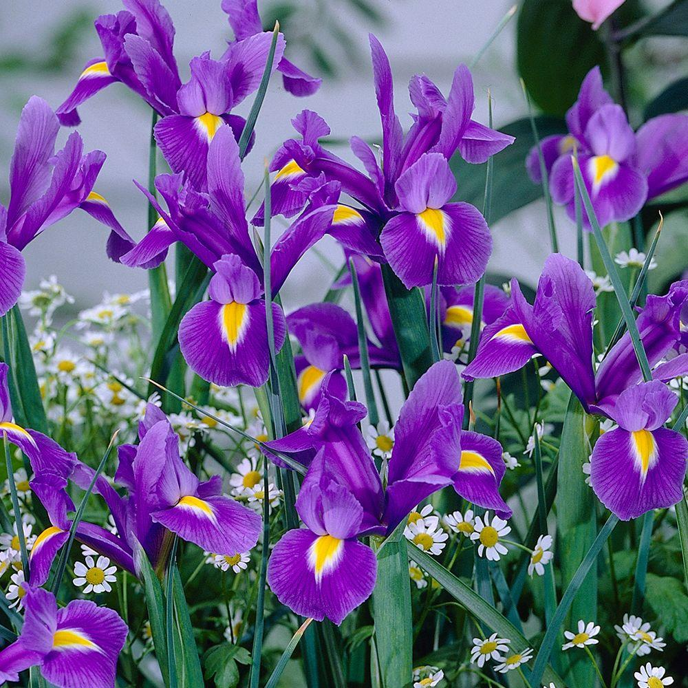 null Dutch Iris Blue Magic Dormant Bulbs (120-Pack)
