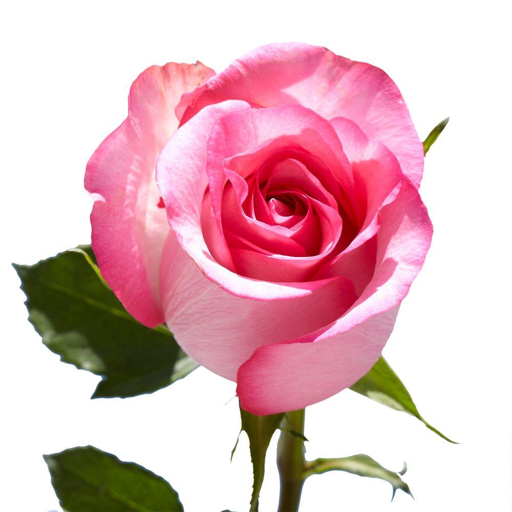 Globalrose Fresh Pink Roses (100 Stems)-100-pink-roses-md