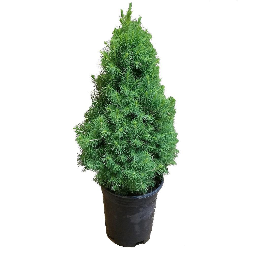 2.5 Qt. Dwarf Alberta Spruce, Pyramidal Evergreen Shrub/Tree