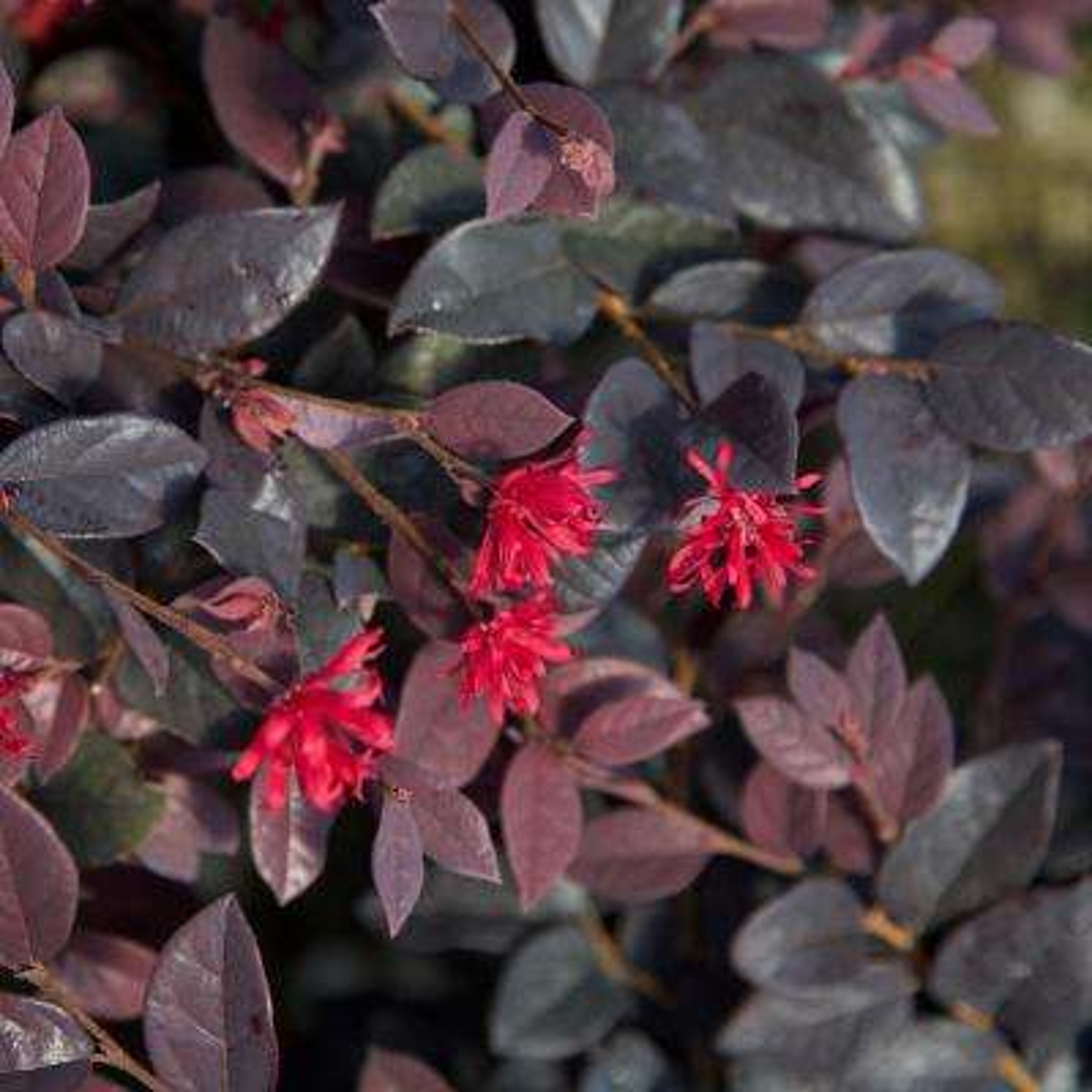 2.5 Qt. Red Diamond Midsize Loropetalum, Evergreen Shrub with Purple Foliage, Red Ribbon Blooms