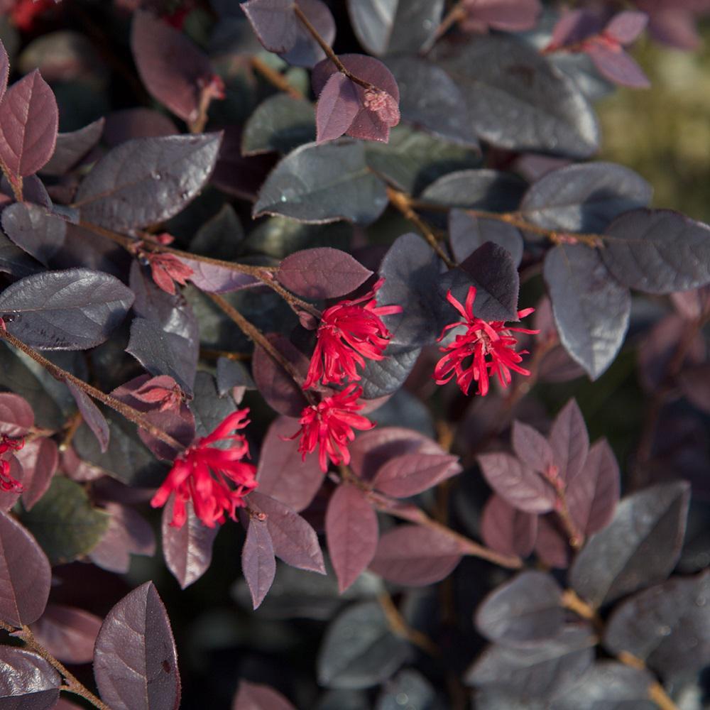 3 Gal. Red Diamond Midsize Loropetalum, Evergreen Shrub with Purple Foliage, Red Ribbon Blooms