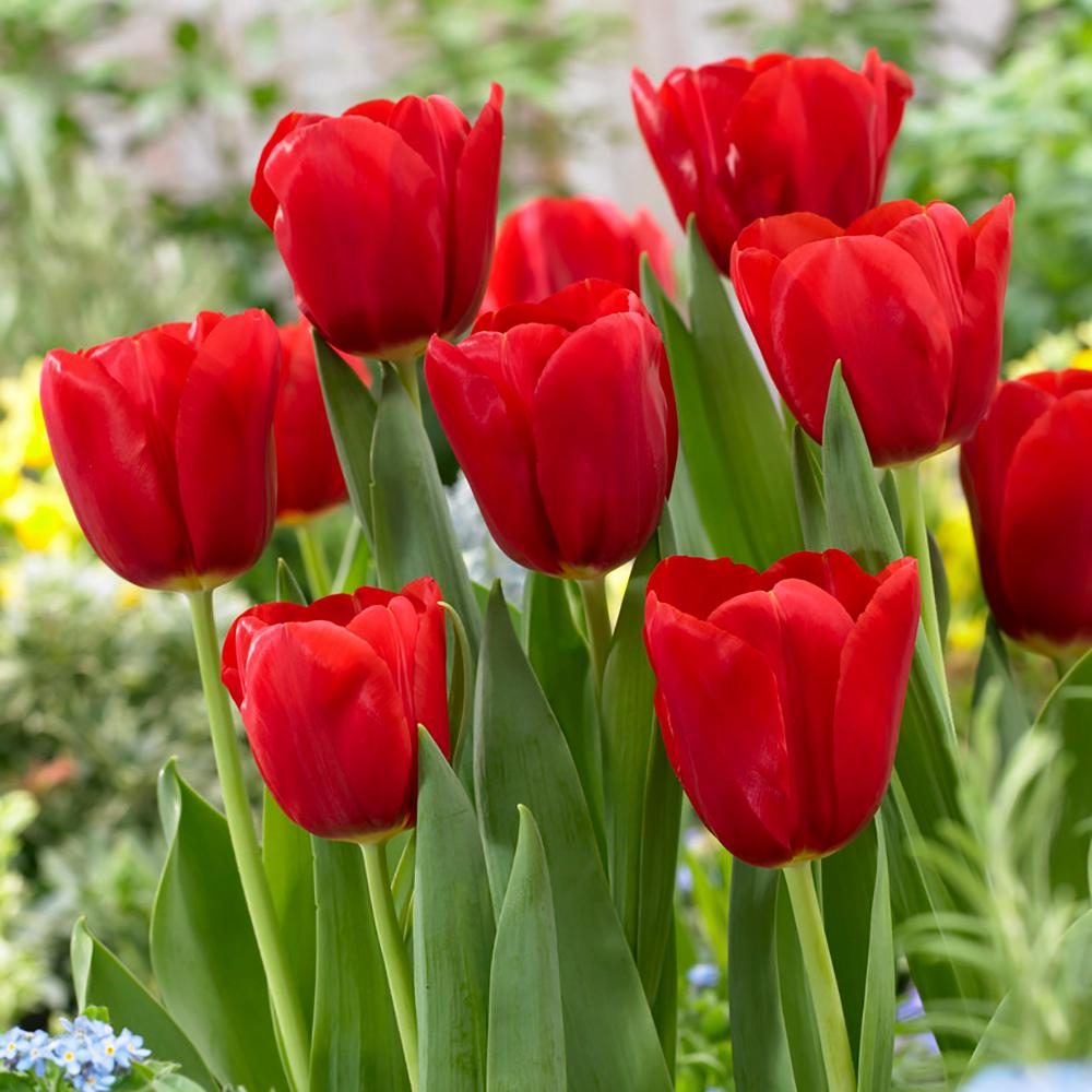 Garden State Bulb Tulip Red Bulbs 100 Count Pack Hof18 08 The