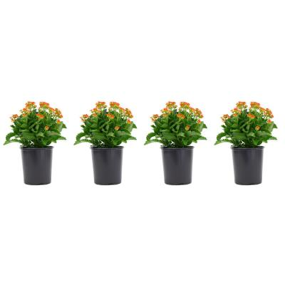 2.5 Qt. Kalanchoe Plant Orange Flowers in 6.33 In. Grower's Pot (4-Plants)