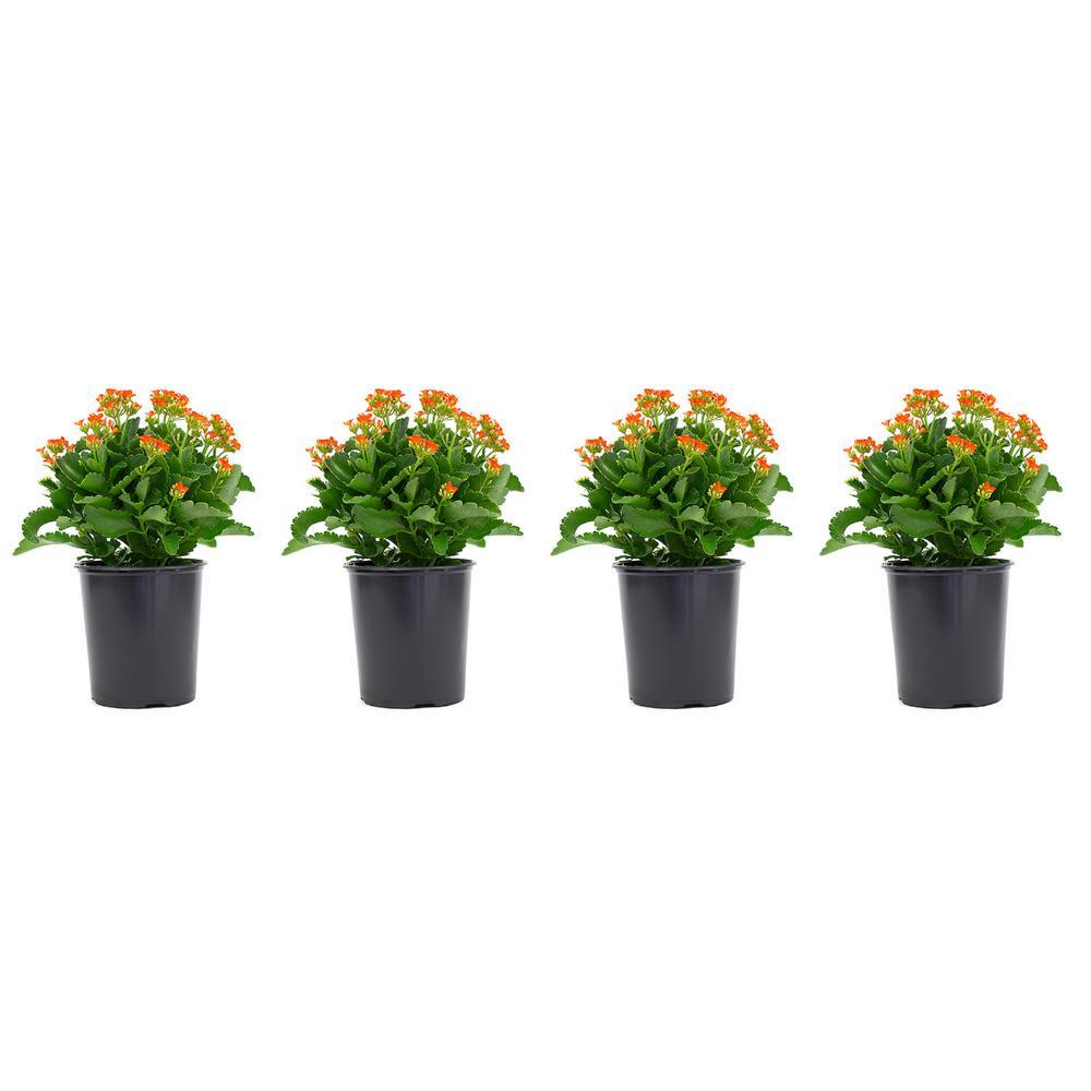 2.5 Qt. Orange Kalanchoe Plant Flowers in 6.33 in. Grower's Pot (4-Plants)