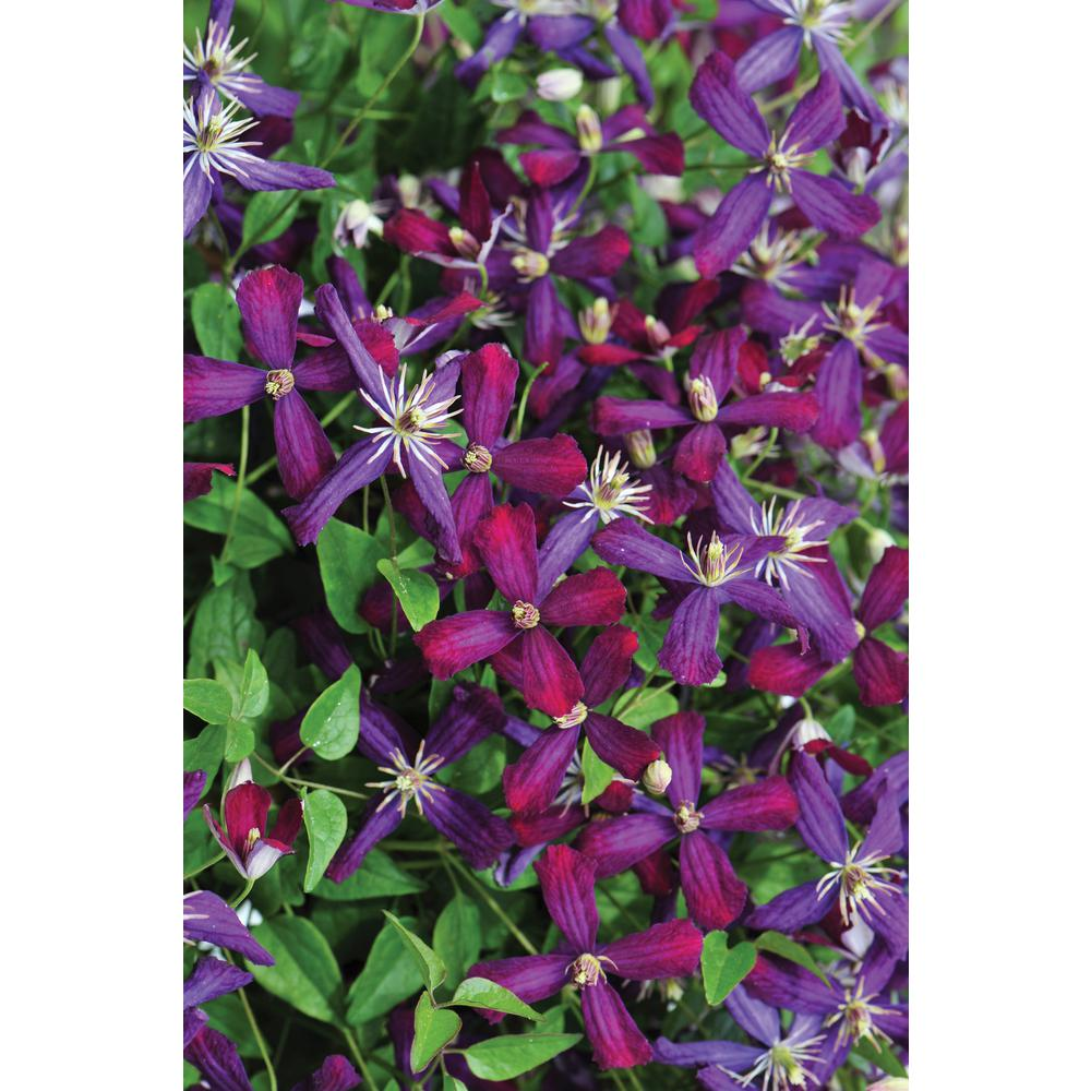 Flowering perennial shrubs trees bushes the home depot sweet summer love clematis live shrub red purple flowers mightylinksfo