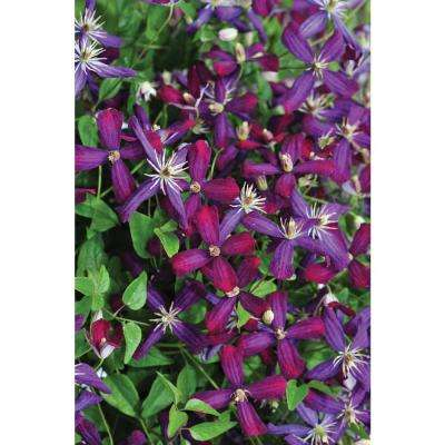 Flowering perennial purple the home depot sweet summer love clematis live shrub red purple flowers mightylinksfo Gallery