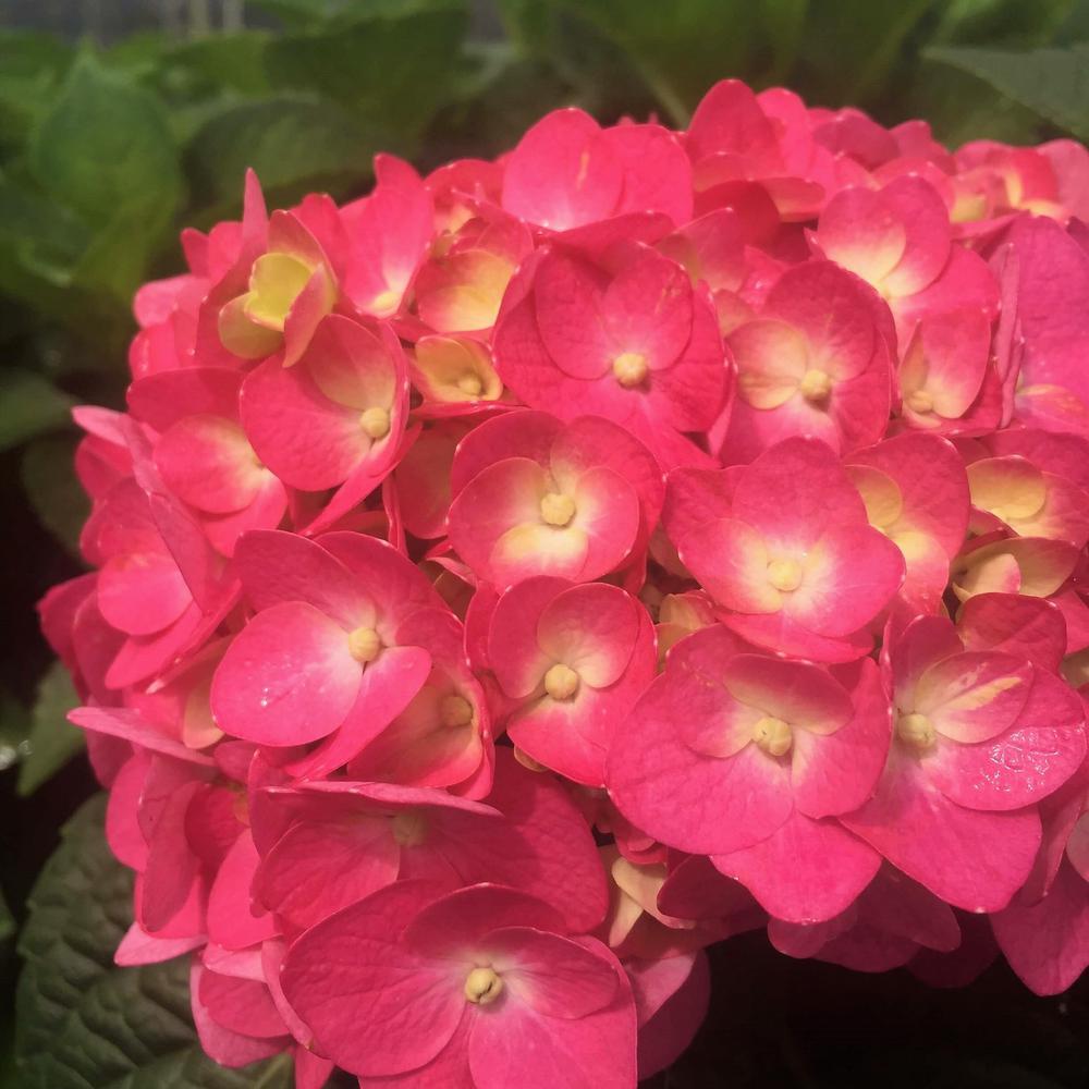 2 Gal. Live Deciduous Shrub Summer Crush Hydrangea (Macrophylla) Raspberry Red or Neon Purple Blooms