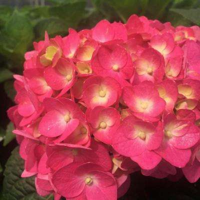 2 Gal. Live Deciduous Shrub Summer Crush Hydrangea (Macrophylla) Raspberry Red or Neon Purple Blooms
