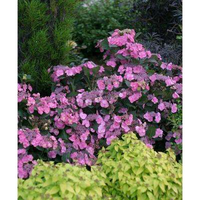 3 Gal. Tuff Stuff Reblooming (Mountain Hydrangea) Live Shrub in Blue, Pink and Purple Flowers