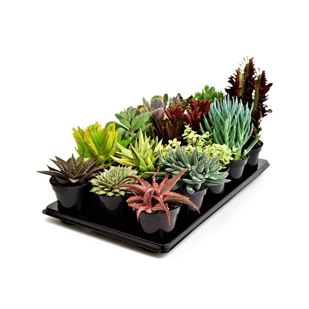 3.5 in. Succulent Mix (15-Plants)
