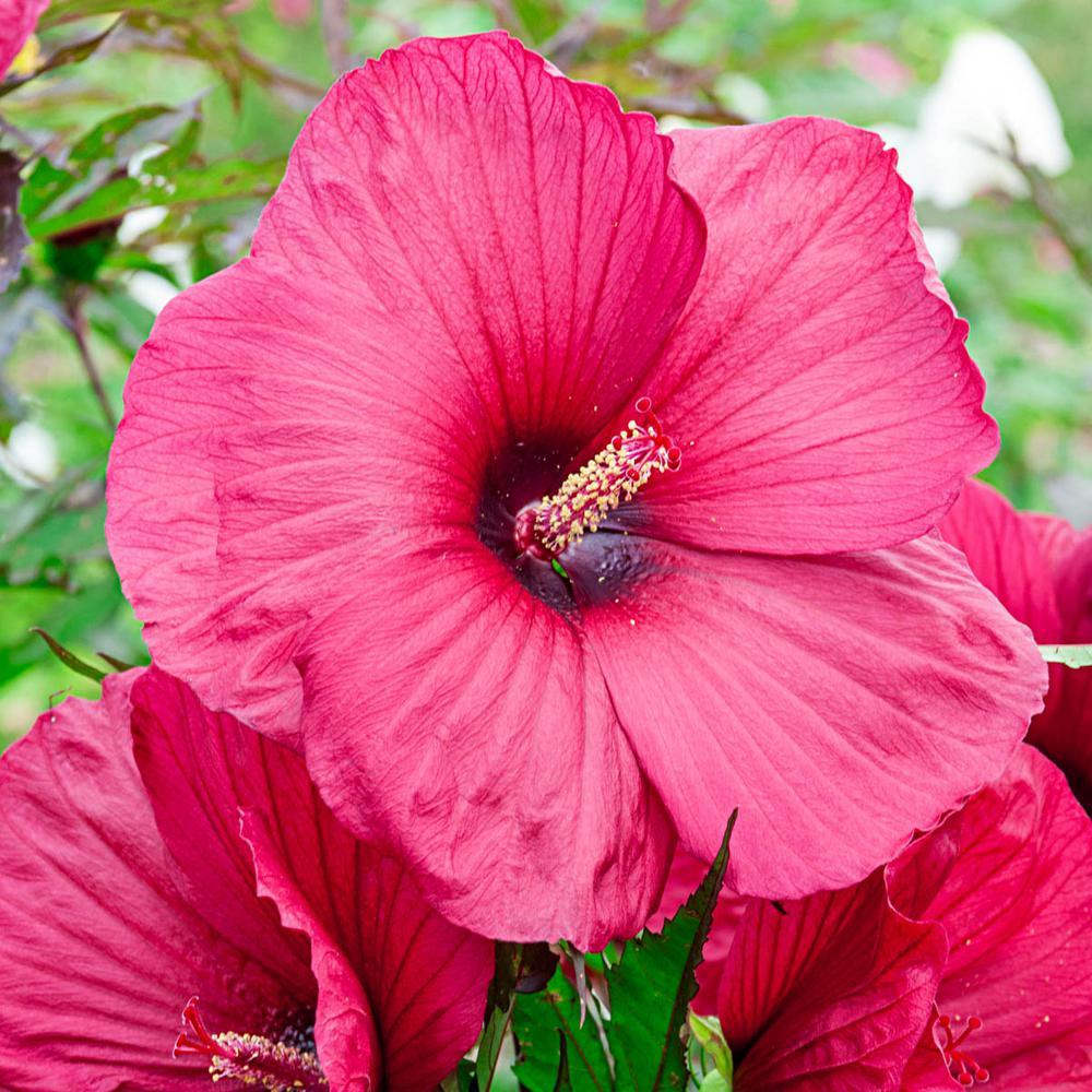 Hibiscus Garden Plants Flowers Garden Center The Home Depot