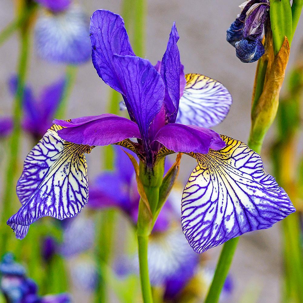 High full sun perennials garden plants flowers the home depot shakers prayer siberian iris live bareroot plant purple and white flowering perennial 1 mightylinksfo