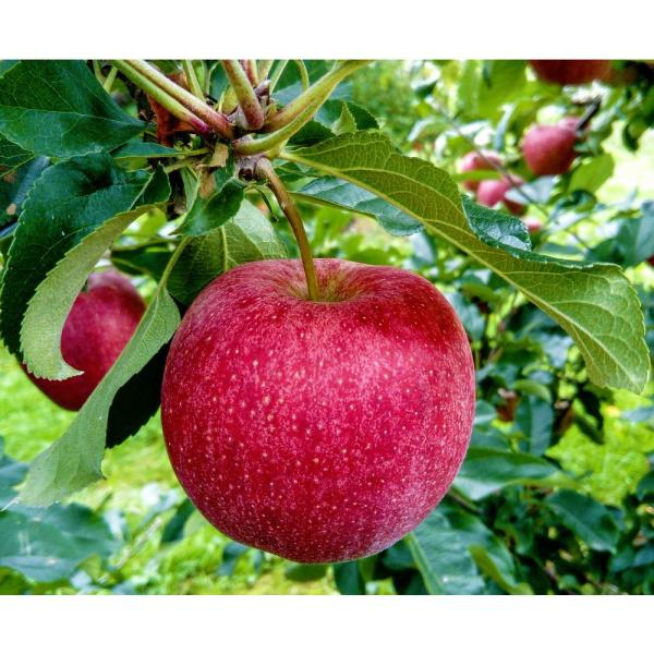 Winesap Apple Tree (Bare-Root, 3 ft. to 4 ft. Tall, 2-Years Old)