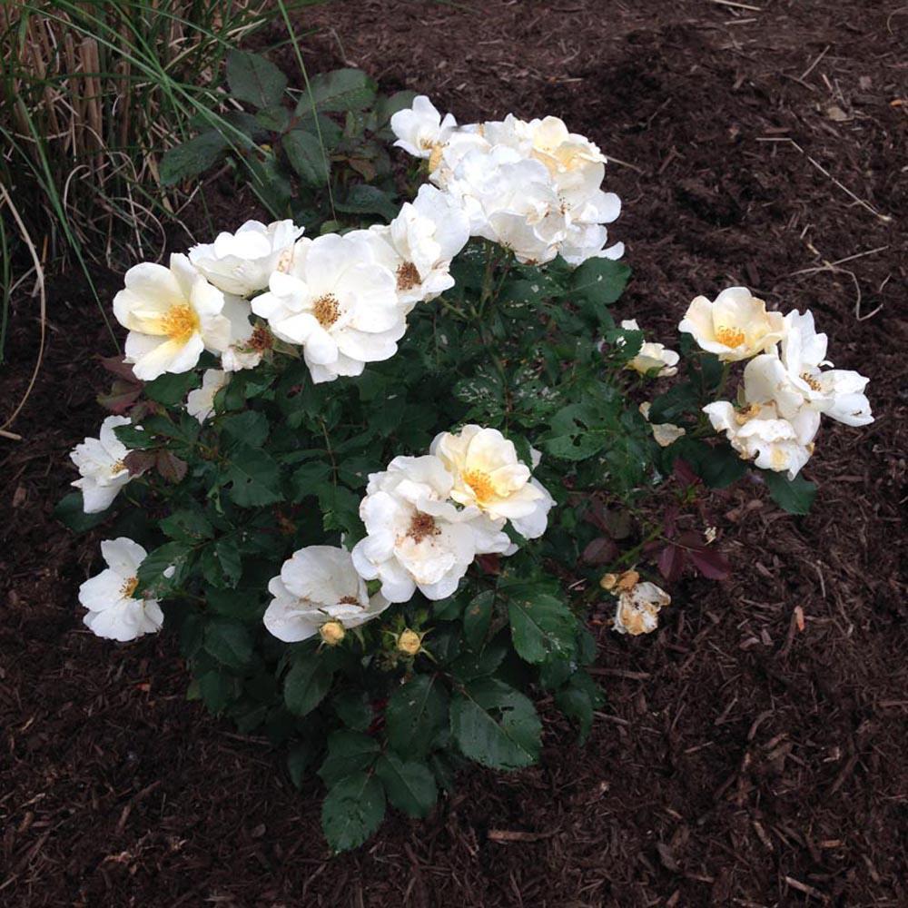2 Gal. Drift Popcorn Rose Flowering Shrub