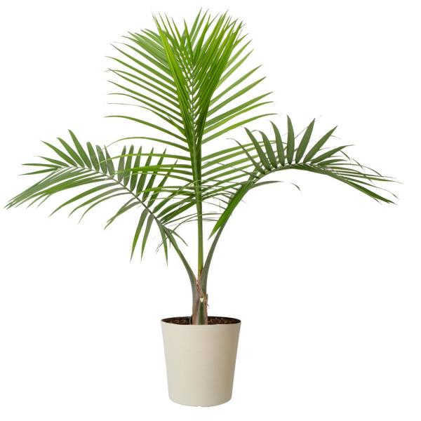 10 in. Majesty Palm in Paradise Planter